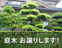 庭木 お譲りします。